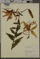 Image of Lilium bulbiferum