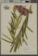 Image of Lilium maculatum