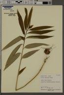 Image of Lilium japonicum