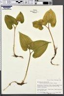 Image of Maianthemum bifolium