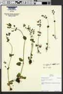 Image of Erythranthe arvensis