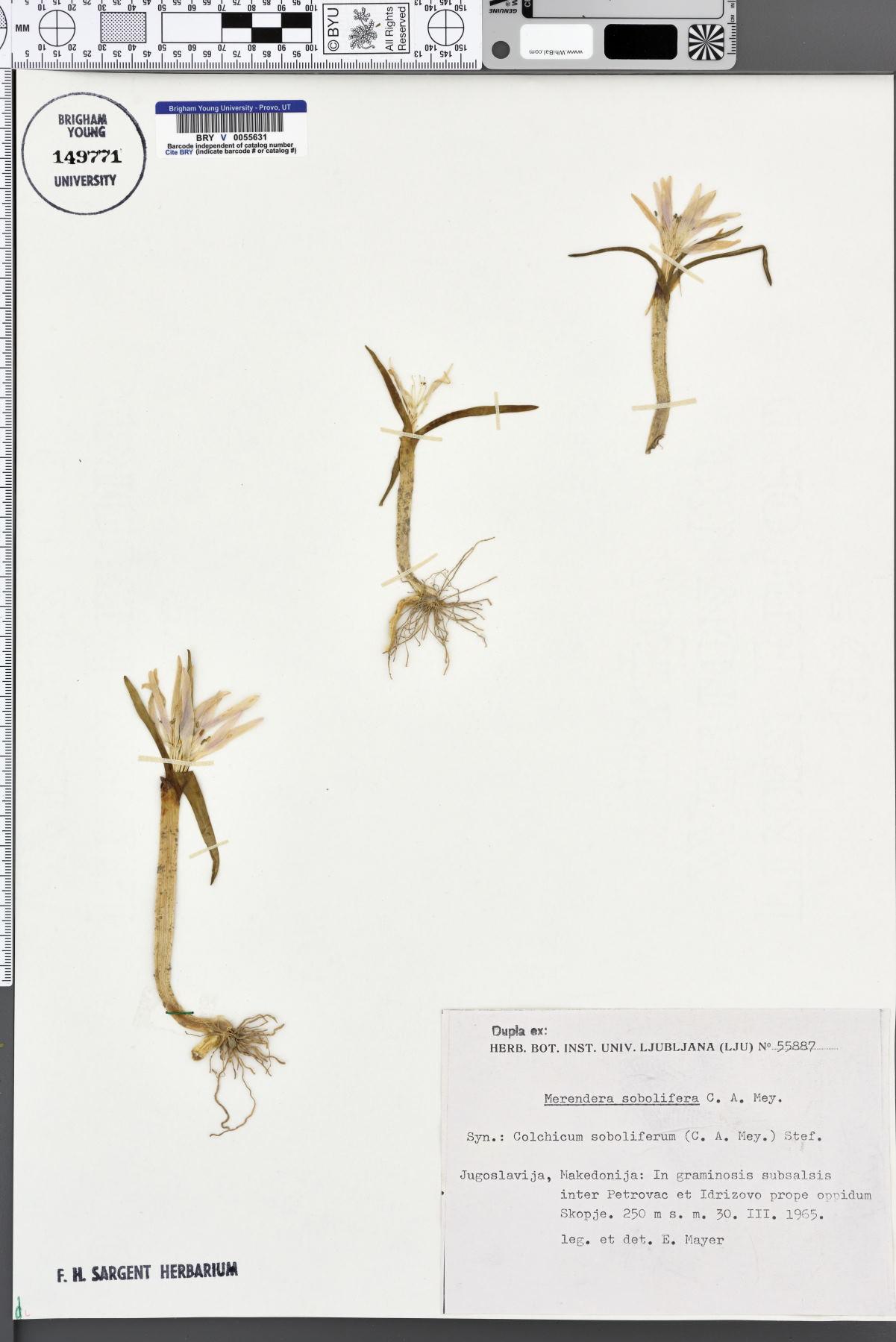 Colchicum soboliferum image