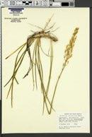 Image of Narthecium californicum