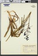 Pasithea coerulea image