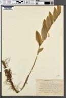 Polygonatum odoratum image