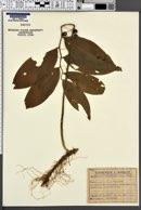 Image of Polygonatum latifolium