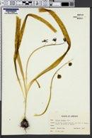 Hyacinthoides non-scripta image