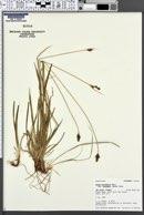 Carex norvegica var. stevenii image