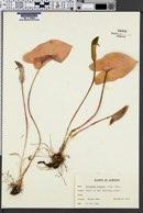 Image of Arisarum vulgare