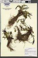 Epilobium anagallidifolium image
