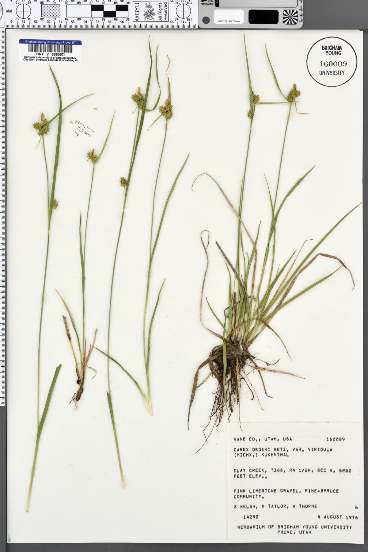 Carex oederi var. viridula image