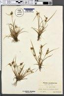 Carex oederi var. oederi image