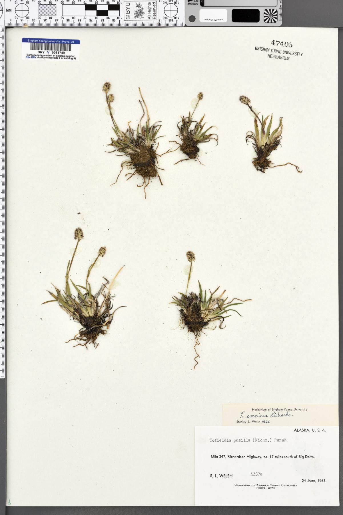 Tofieldia coccinea image