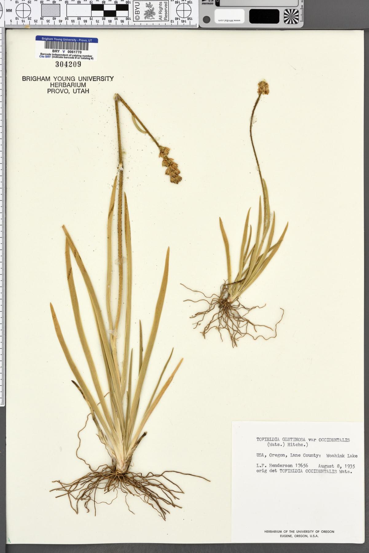 Tofieldia glutinosa var. occidentalis image