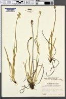 Tofieldia glutinosa var. brevistyla image