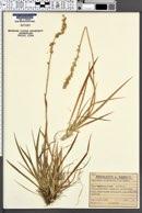 Tofieldia calyculata image