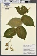 Image of Tricyrtis latifolia