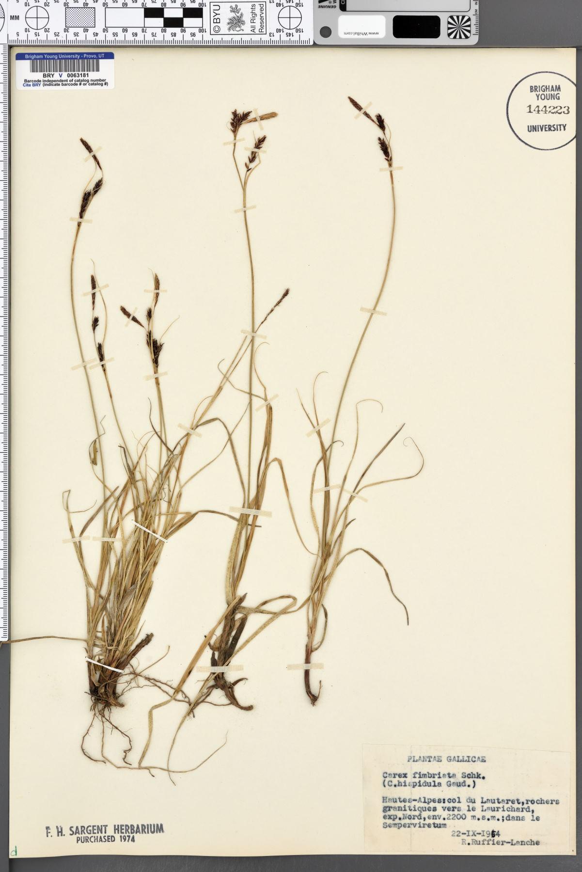 Carex fimbriata image
