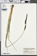 Carex elata image
