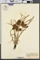 Cyperus erythrorhizos image