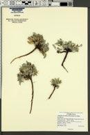 Image of Astragalus laccoliticus