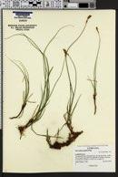 Carex phaeocephala image