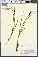 Carex saxatilis image