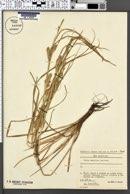 Image of Carex secalina