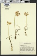 Allium bisceptrum image