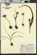 Allium crenulatum image