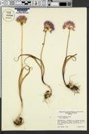 Allium douglasii image