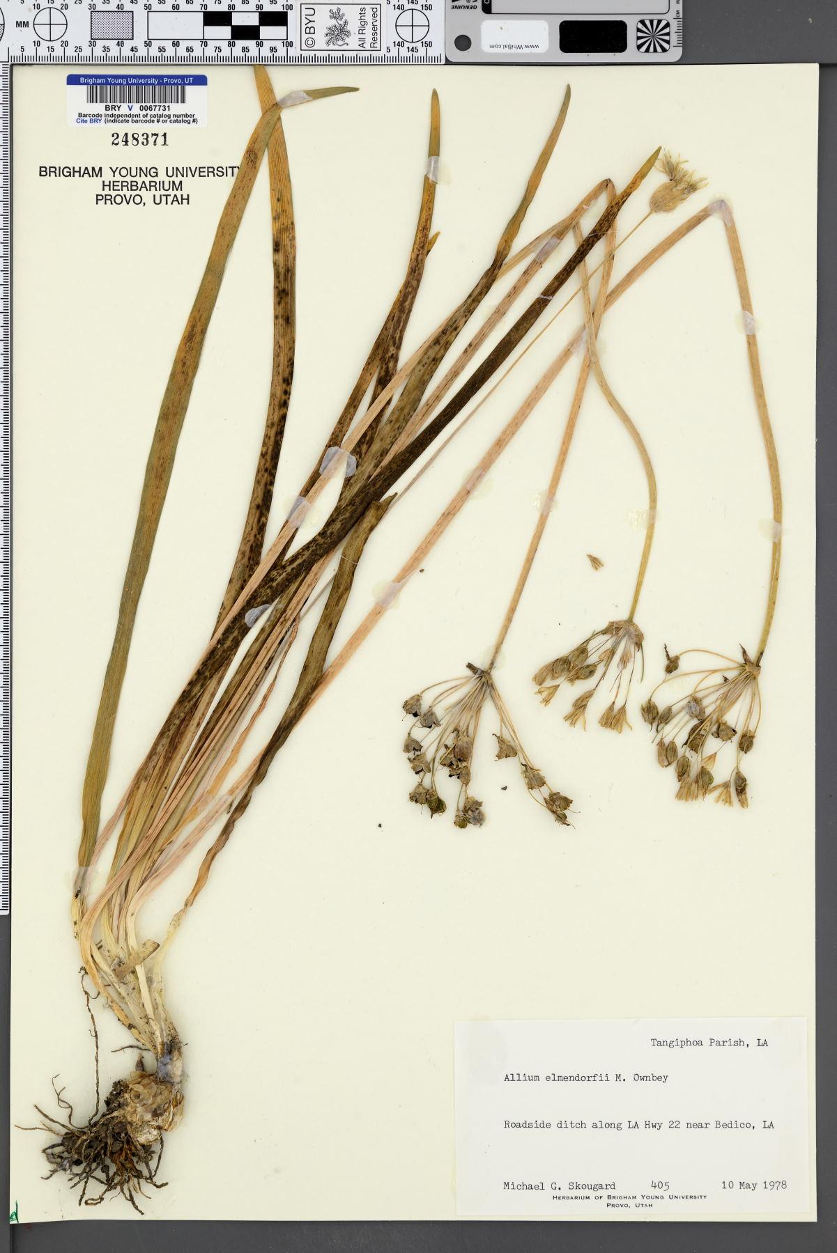 Allium elmendorfii image