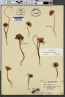 Allium fimbriatum image
