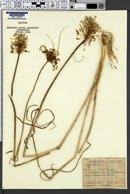 Image of Allium flavum