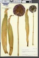 Image of Allium giganteum