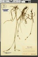 Carex vaginata image
