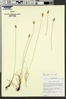 Carex vallicola image