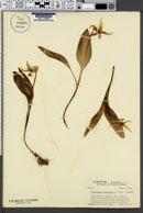 Erythronium parviflorum image