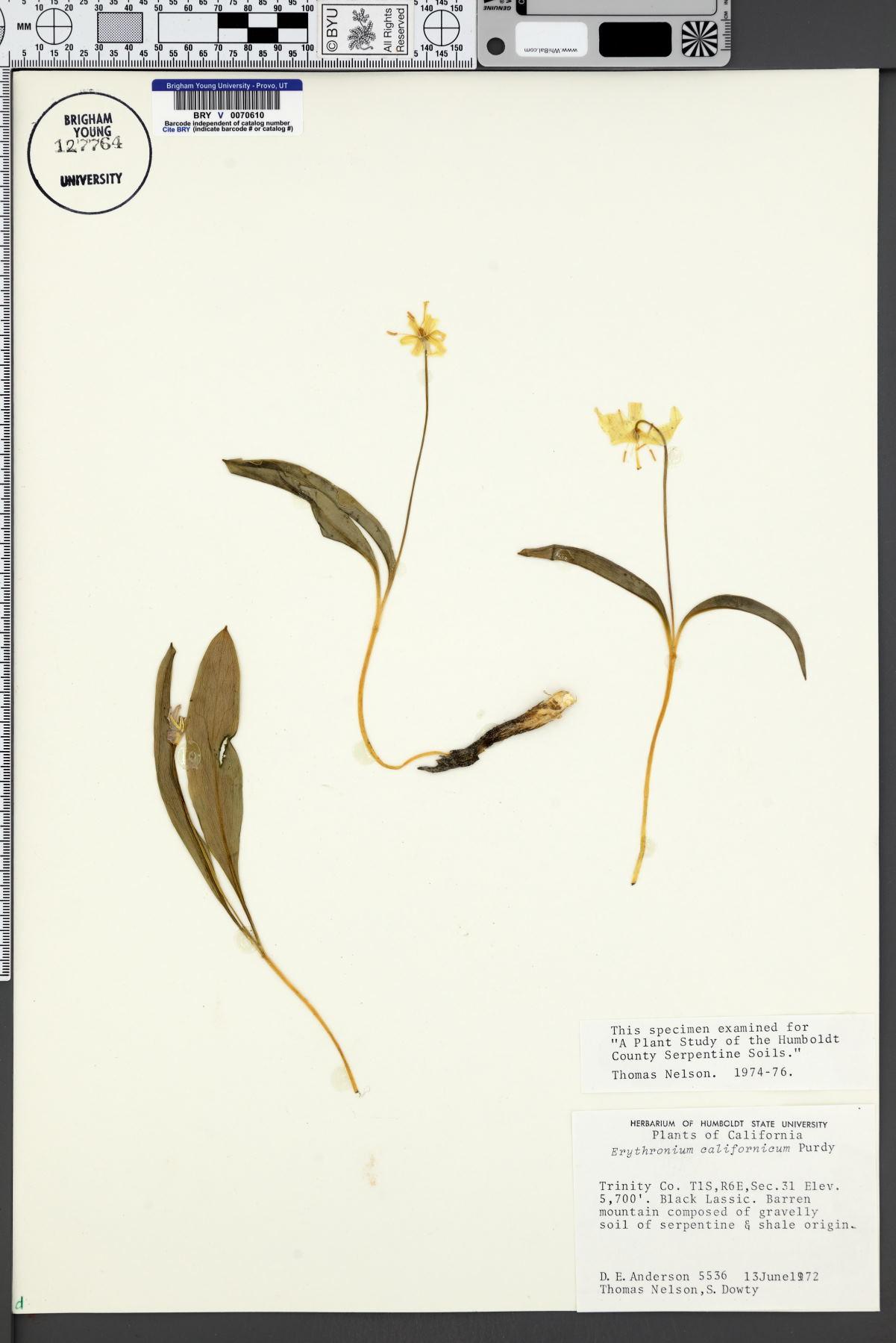 Erythronium californicum image