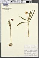 Fritillaria pudica image