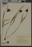 Image of Fritillaria montana