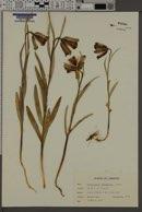 Image of Fritillaria acmopetala