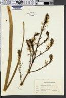 Image of Asphodelus aestivus