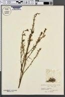 Asphodelus ramosus image