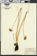 Allium geyeri var. geyeri image