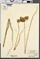 Brodiaea multiflora image