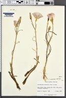 Calochortus ciscoensis image