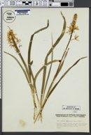 Image of Camassia hyacinthina