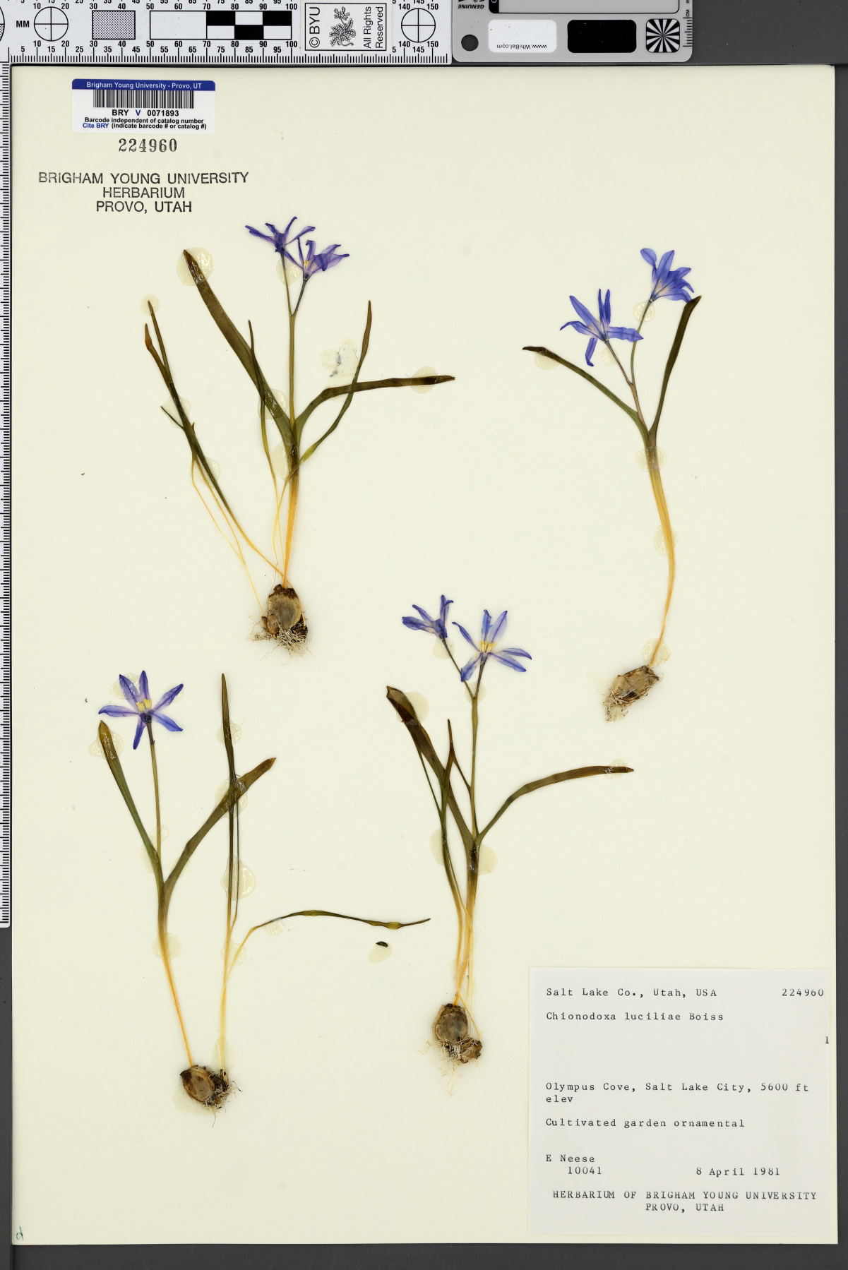 Chionodoxa luciliae image