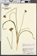 Dichelostemma capitatum subsp. capitatum image